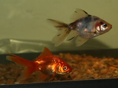 Two fantail goldfish