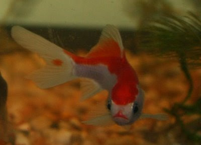 Red / white goldfish