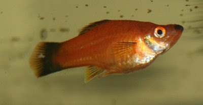 Other female swordtail, looking nice and round
