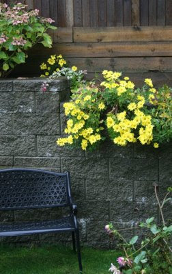 Cheery yellow chrysanthemums