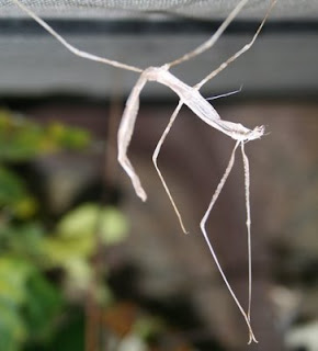 Molted skin from a stick bug