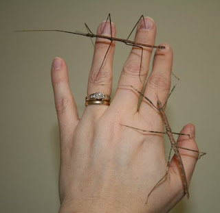 Stick bugs on hand