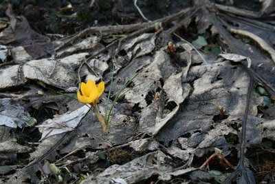 Lone crocus in Spring