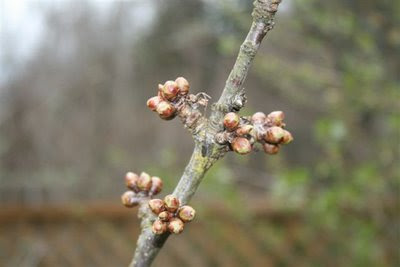 Lapin cherry buds