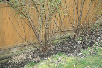 Ribes odoratum spring cleanup