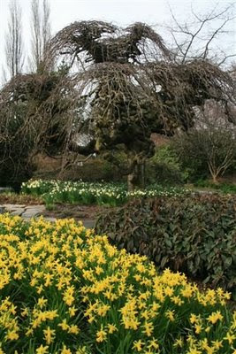 Very contorted willow and daffodils