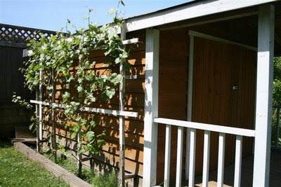 Grape vines growing on shed