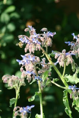 Borage with bee