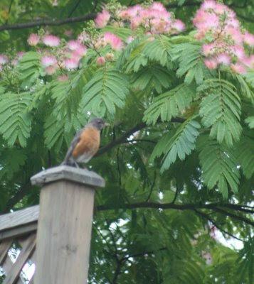 Albizia julibrissia with American robin