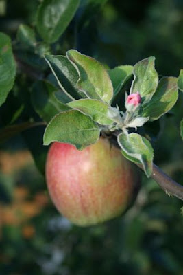 Apple blossoms and ripe fruit