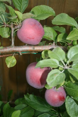Espalier apple