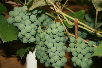 Green grape on vine