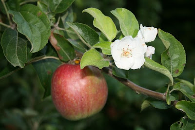 Apple in blossom and fruit