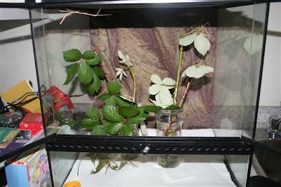 Stick bug cage