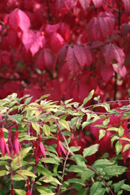 Fuschia and Euonymus elata in Fall colours