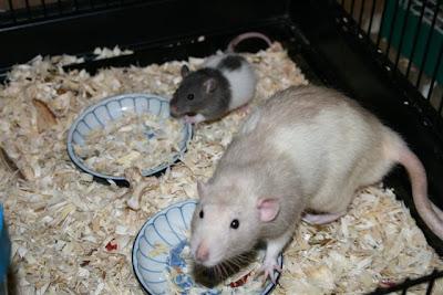 Rattie boys