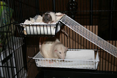 Our two boy ratties