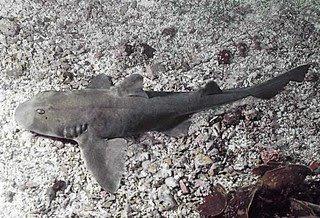 Heterodontus mexicanus