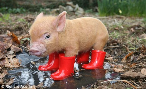 Baby Pigs In Mud Mud she happily ploughed.