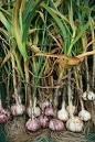 Garlic Tree