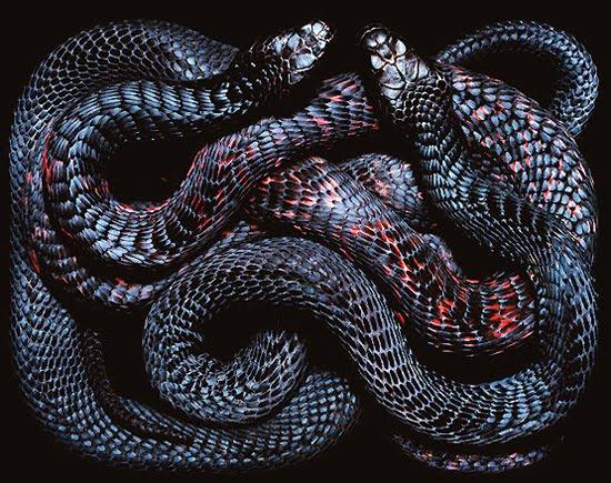 snake wallpapers. poison snake wallpapers