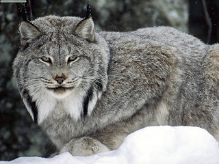 Lynx (Picture)