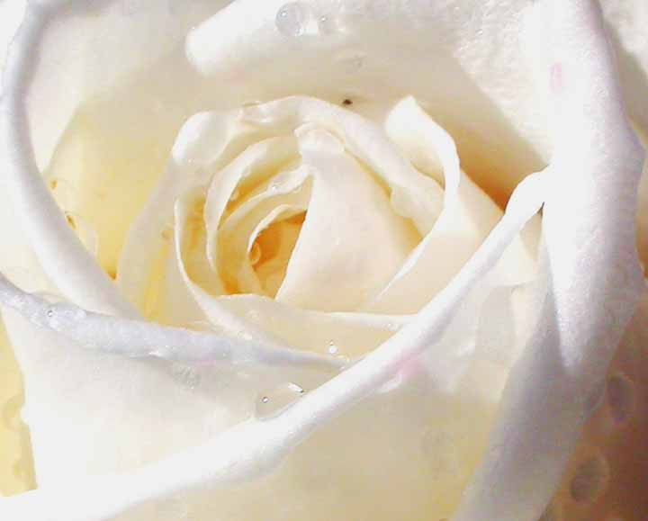 rose with withe - photo #13