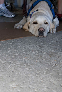 My Franklin boy laying with his head between his front legs looking at the camera