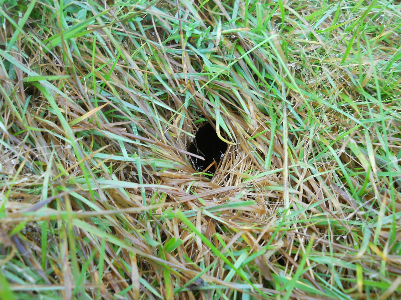 how to clean grass mice