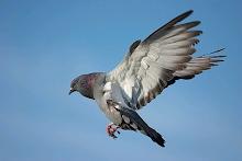 El tiro a la paloma es uno de los deportes mas buscados por los amantes de las caza menor.