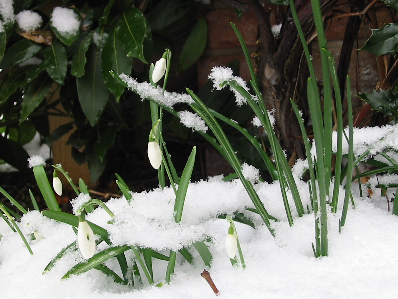 http://3.bp.blogspot.com/_fuVkEdeAoGA/TUp1ClhrvmI/AAAAAAAAATk/Ul8hNLa37us/s1600/Snowdrop.jpg