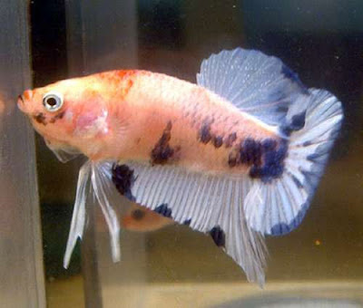 Fresh water ornamental fish diseases pictures exotic for Betta fish disease