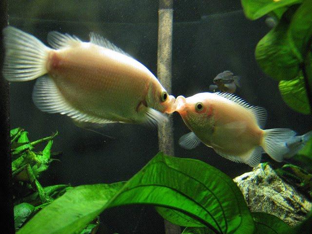 Kissing gourami pictures exotic tropical ornamental fish for Kissing gourami fish