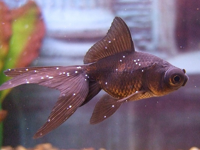 White spot tropical fish disease exotic tropical for Fungus in fish tank
