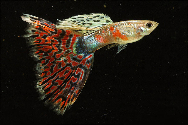 Most Popular Guppy Fish Pictures 2 Exotic Tropical