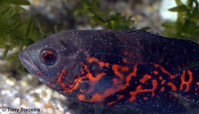 White spot tropical fish disease exotic tropical for How do i treat ich in my fish tank