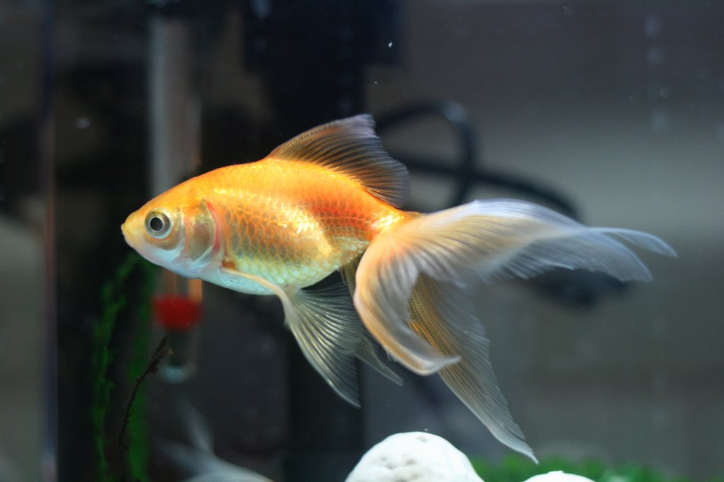 Popular Goldfish Types And Pictures Exotic Tropical Ornamental Fish Photos With Names Fish