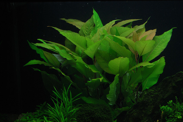 Hygrophila Corymbosa Aquatic Plants Species