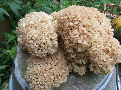 Monotarcie champignon fleur - Les champignons de jardin sont ils comestibles ...
