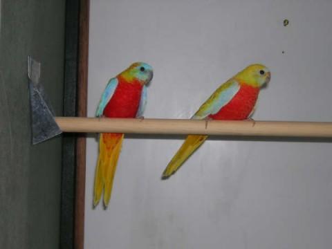 Turquoisines mutação amarelo-opalino peito vermelho