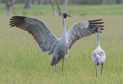 free downloading pics of brolga wikipedia