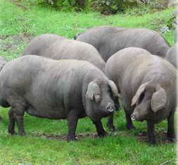 external image cerdo-iberico-gordo.jpg