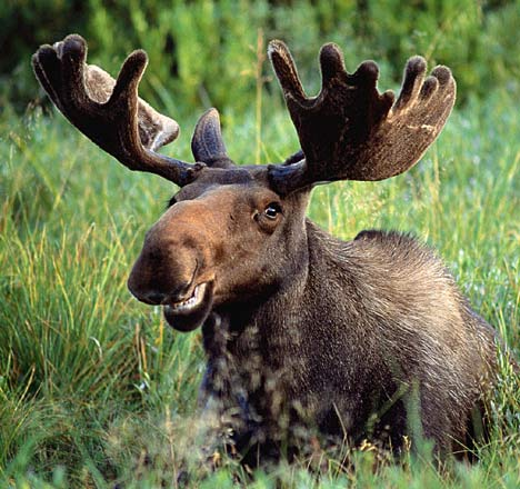 Alphabet [forum game] Moose+smiles