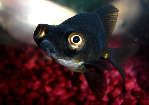 Peces de agua fr a el telesc pico negro black moor o pez for Peces de agua fria carpas