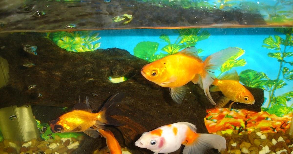 Peces de agua fr a como alimentar a los goldfish for Peces de agua fria carpas