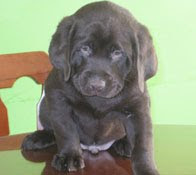 vendo hermoso cachorro labrador de 3 meces- comunicarse  al 3035678 o a la veterinaria SALUVET