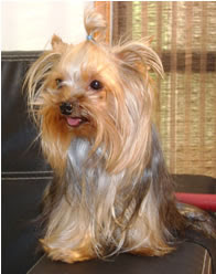 me extravie !! soy  una yorkshire terrier color amarillo ,informes 410 05 36