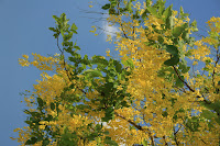 Yellow shower tree
