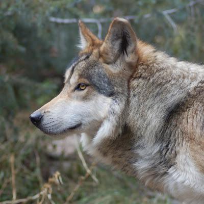 Gambar-Gambar Serigala