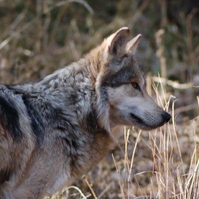 Downlaod Gambar Serigala